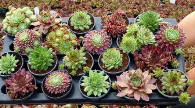 Čuvarkuća, dekorativna i ljekovita biljka